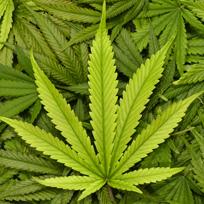 Cannabis_vedette (3)