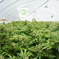 Cannabis_vedette-(4)